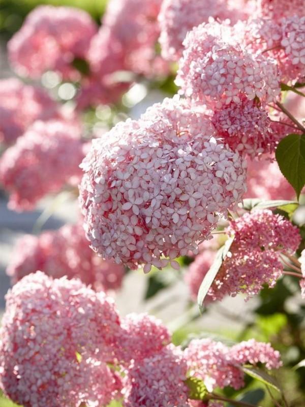 Como secar hortensias naturales interesting lunes de - Como secar hortensias ...